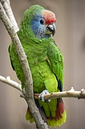 Red-tailed amazon macaw