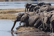 Herd of African Elephants - Botswana