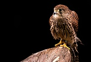 European Kestrel Full Body Black Background
