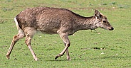 Female deer walking