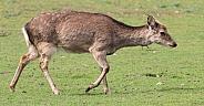 Female deer walking