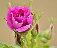 Pink Wild Rose