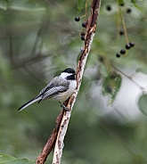 Black-Capped Chickadee in a Chokecherry Tree