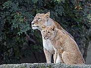 Lioness and Young lion