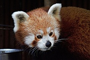 Red Panda up close