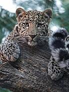 African Leopad