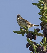Lincoln's Sparrow Perched on a Spruce Tree
