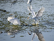 Two great egrets fighting on the pond