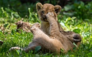Lion cub's playing