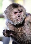 Weeper Capuchin
