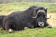 Wet Alaskan Musk Ox lying down in grass