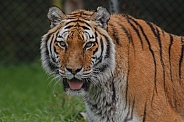Amur Tiger Facing Camera With Tongue Out
