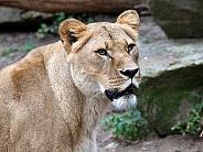 Lion (Panthera onca)
