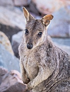 Rock Wallaby looking at camera - Queensland Australia