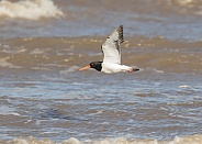 Oystercatcher in Flight