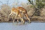 Impala Mother and Fawn