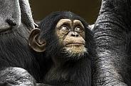 Baby Chimpanzee Close Up Looking Upwards