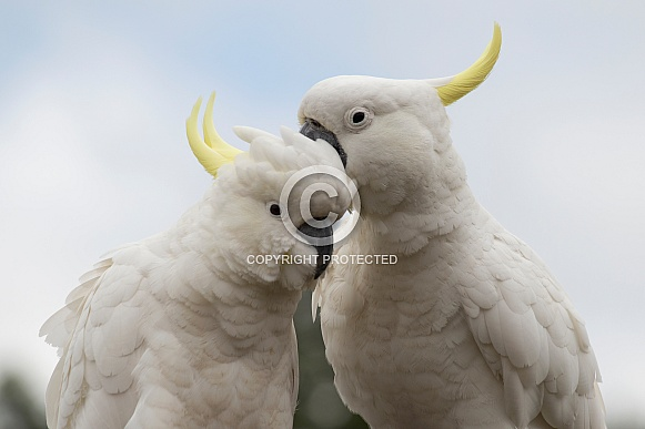 Two Sulphur-crested Cockatoos (wild).