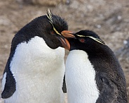 Rockhopper Penguins - Falkland Islands