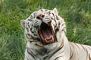 Yawning White tiger