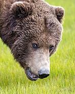 Alaska Peninsula Brown Bear Portrait