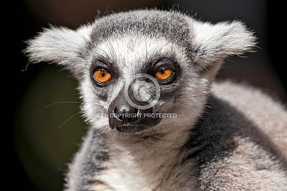 Ring Tailed Lemur Face Shot Close Up