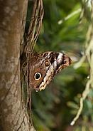 Morpho menelaus, blue morpho butterfly