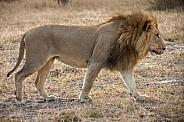 Lion - Botswana