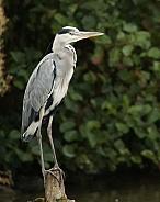 Grey Heron Perched