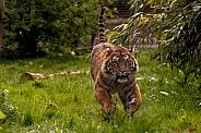 Sumatran Tiger Running Towards Camera