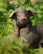 Rare Large Black Piglet Climbing