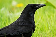 Carrion Crow Portrait