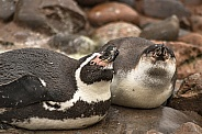 Two Humboldt Penguins Lying Down