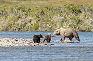 Grizzly Bear at Alaska and two cubs