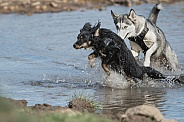 Husky and Mongrel playing in Water