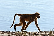 Chacma Baboon - Chobe River - Botswana