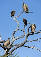 Cape Vultures (Gyps coprotheres)