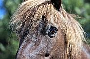Shetland Pony Eye Study