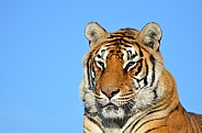 Tiger Potrait