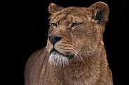 African Lioness Black Background