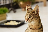 Savannah Cat F1