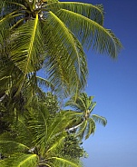 Tropical palm trees - Cook Islands - South Pacific