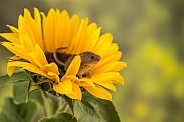 Harvest Mice on Sunflower