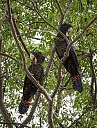 Red Tailed Black Cockatoo Couple