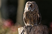Long Eared Owl Close Up Full Body