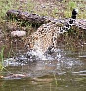 Juvenile Amur Leopard in Montana
