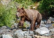 Coastal brown bear on the rocks in a creek