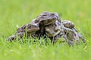 Frogs (Bufo Bufo)