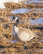Canada Goose Standing in a field