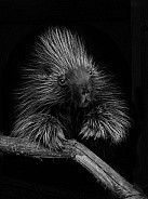 Noth American Porcupine
